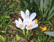 Flores da mola de Snowdrops Imagem de Stock Royalty Free