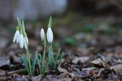 Flores da mola de Snowdrops primeiras foto de stock