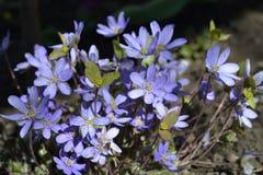 Flores da mola de Violeta Foto de Stock Royalty Free