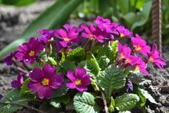 Flores da mola de Violeta Fotos de Stock Royalty Free