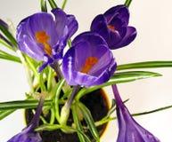 Flores da mola do açafrão Imagens de Stock