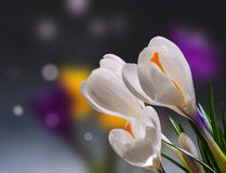Flores da mola do açafrão Foto de Stock
