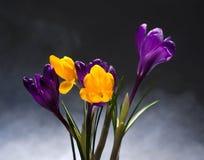 Flores da mola do açafrão Imagem de Stock