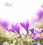Flores da mola do açafrão Fotos de Stock