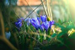 Flores da mola do açafrão Fotos de Stock Royalty Free