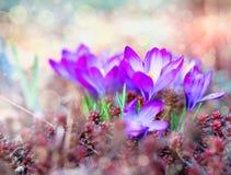 Flores da mola do açafrão Fotografia de Stock Royalty Free