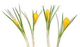 Flores da mola do açafrão amarelo Fotografia de Stock Royalty Free