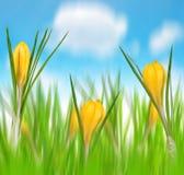 Flores da mola do açafrão amarelo Imagens de Stock