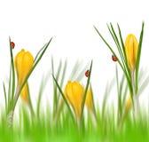 Flores da mola do açafrão amarelo com joaninhas Imagem de Stock Royalty Free
