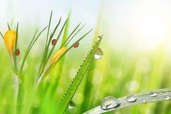 Flores da mola do açafrão amarelo e da grama verde com gotas de orvalho Foto de Stock Royalty Free