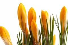 Flores da mola do açafrão amarelo isoladas no fundo branco Imagens de Stock Royalty Free