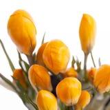 Flores da mola do açafrão amarelo isoladas no fundo branco Imagem de Stock