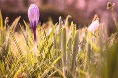 Flores da mola do açafrão na grama verde com orvalho Foto de Stock