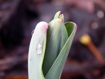Flores da mola do açafrão na neve Imagens de Stock Royalty Free