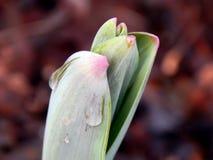 Flores da mola do açafrão na neve Foto de Stock Royalty Free