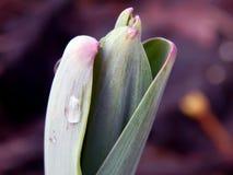 Flores da mola do açafrão na neve Imagem de Stock