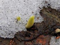Flores da mola do açafrão na neve Foto de Stock