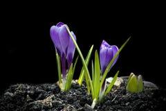 Flores da mola do açafrão no preto Fotos de Stock Royalty Free