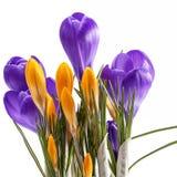 Flores da mola do açafrão violeta e amarelo isolado no fundo branco Fotografia de Stock Royalty Free