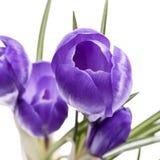 Flores da mola do açafrão violeta isoladas no fundo branco Imagem de Stock Royalty Free
