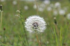 Flores da mola do dente-de-leão field fotos de stock royalty free