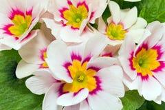 flores da mola do fim colorido da prímula acima Fotografia de Stock Royalty Free
