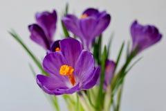 Flores da mola dos açafrões Imagens de Stock