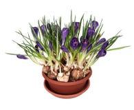Flores da mola dos açafrões em um potenciômetro Foto de Stock