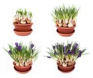 Flores da mola dos açafrões em um potenciômetro Foto de Stock Royalty Free