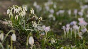 Flores da mola dos snowdrops do close-up na profundidade rasa do fundo borrado do campo video estoque