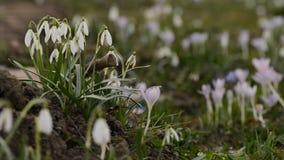 Flores da mola dos snowdrops do close-up na profundidade rasa do fundo borrado do campo vídeos de arquivo