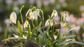 Flores da mola dos snowdrops do close-up na profundidade rasa do fundo borrado do campo filme