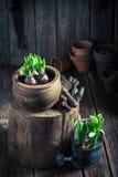 Flores da mola e potenciômetros de argila recentemente crescidos Fotografia de Stock Royalty Free