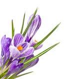 Flores da mola em gotas da água Imagens de Stock