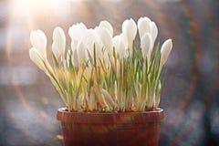 Flores da mola em raios do sol Fotos de Stock