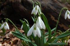 Flores da mola em snowdrops selvagens do branco da floresta Planta de florescência da primavera Imagens de Stock
