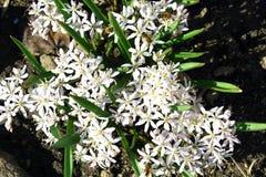 Flores da mola em um jardim. Fotografia de Stock Royalty Free
