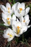Flores da mola em um jardim. Imagem de Stock Royalty Free