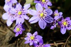 Flores da mola em um jardim. Foto de Stock Royalty Free
