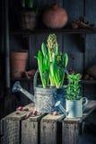 Flores da mola em uma lata molhando pequena Imagens de Stock Royalty Free