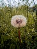 Flores da mola da flor do dente-de-leão Fotografia de Stock