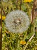 Flores da mola da flor do dente-de-leão Foto de Stock Royalty Free