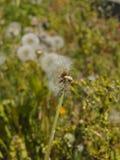 Flores da mola da flor do dente-de-leão Imagem de Stock