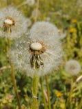 Flores da mola da flor do dente-de-leão Imagem de Stock Royalty Free