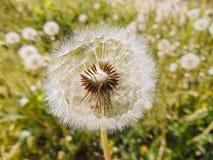 Flores da mola da flor do dente-de-leão Imagens de Stock Royalty Free