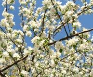 Flores da mola, flores da mola Imagens de Stock Royalty Free