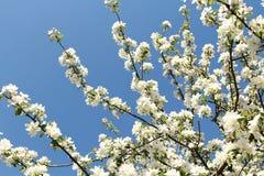 Flores da mola, flores da mola Imagens de Stock