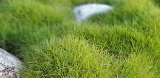 Flores da mola - gramas com pedras foto de stock