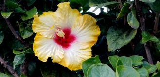 Flores da mola - hibiscus extravagante perto acima fotos de stock royalty free