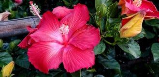 Flores da mola - hibiscus extravagante perto acima foto de stock royalty free